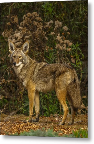 The Coyote Metal Print