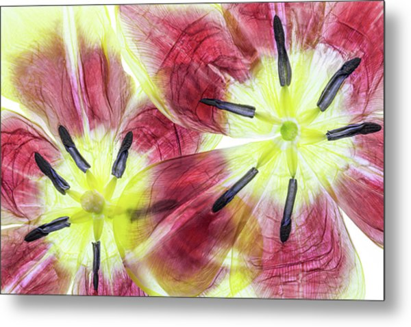 Tulips Metal Print by Mandy Disher