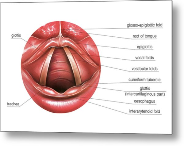 Vocal Tract Metal Prints And Vocal Tract Metal Art Fine Art America