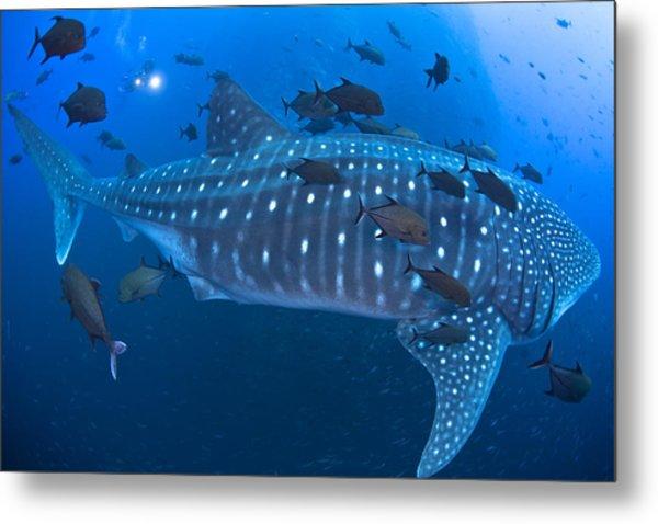 Whale Shark Metal Print by David Valencia