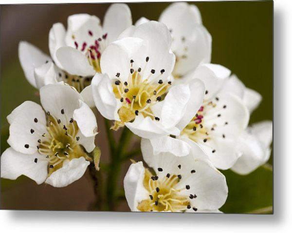 Beautiful White Spring Blossom Metal Print
