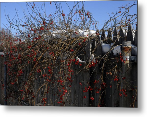 Winter Berries Metal Print by Donna Desrosiers
