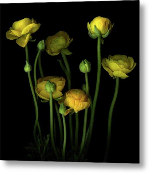 Yellow Ranunculus Metal Print by Photograph By Magda Indigo