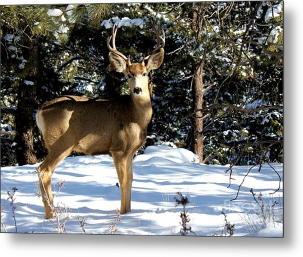 Young Buck Metal Print by Claudette Bujold-Poirier