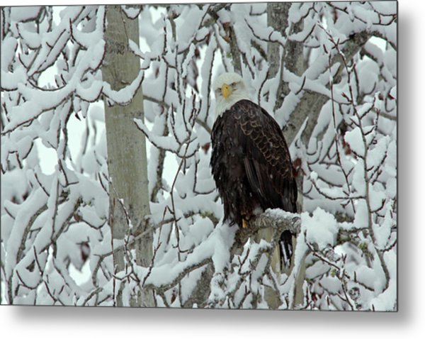 Usa, Alaska, Chilkat Bald Eagle Preserve Metal Print
