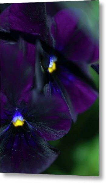 Pansy (viola X Wittrockiana) Metal Print by Maria Mosolova/science Photo Library