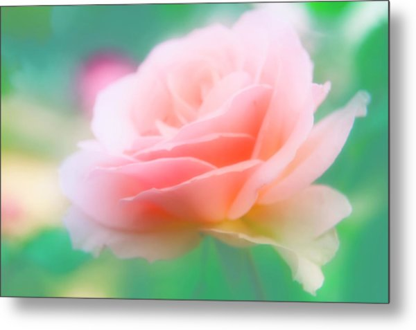 Rose (rosa Sp.) Metal Print by Maria Mosolova/science Photo Library