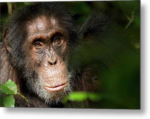 Africa, Uganda, Kibale National Park Metal Print by Kristin Mosher