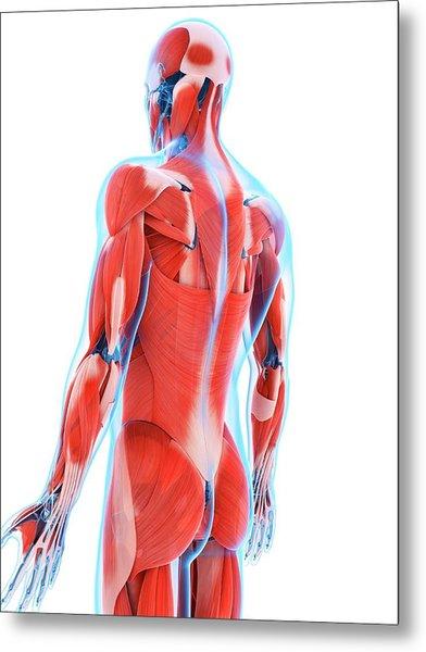 Human Back Muscles Metal Print by Sebastian Kaulitzki