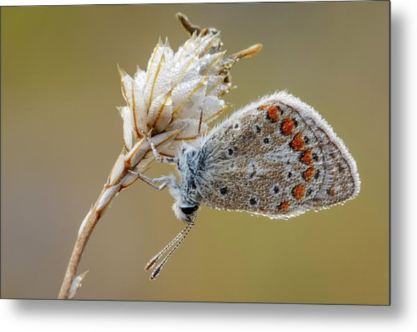 Common Blue Butterfly Metal Print
