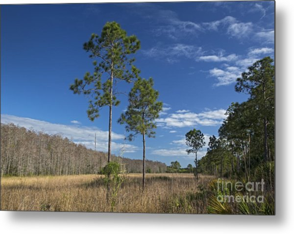 Corkscrew Swamp Metal Print