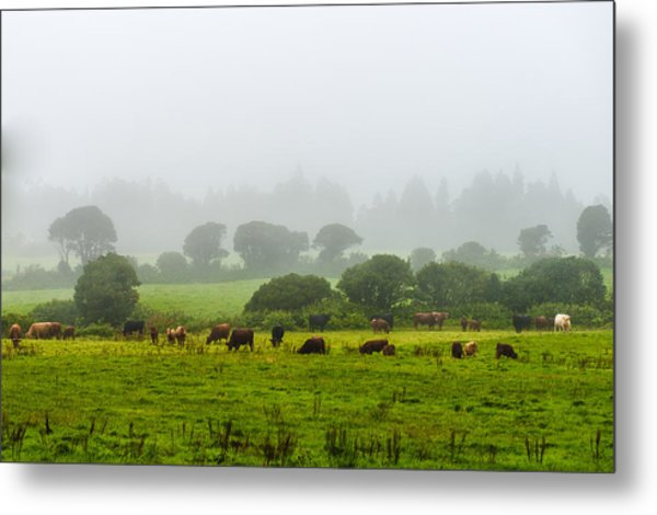 Cows At Rest Metal Print
