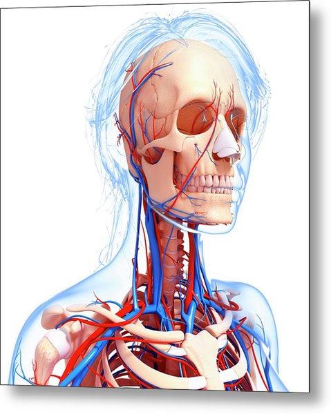 Female Cardiovascular System Metal Print
