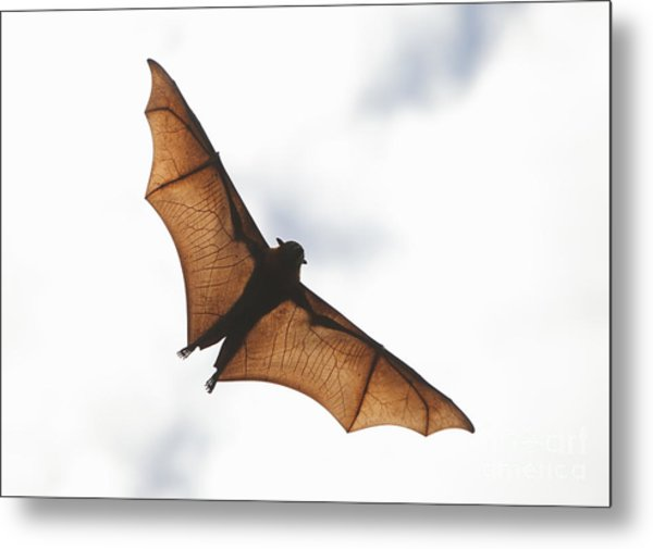 Flying Bat Metal Print