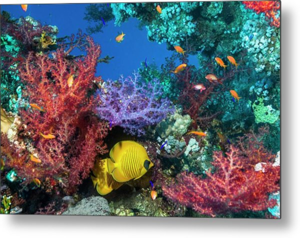 Golden Butterflyfish On A Reef Metal Print