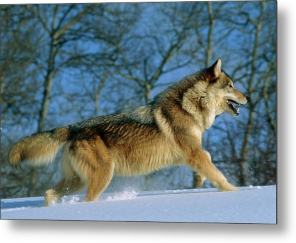 Grey Wolf Running Metal Print