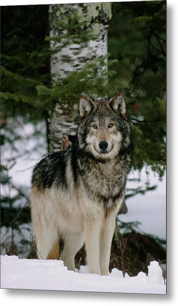 Grey Wolf Metal Print by William Ervin/science Photo Library