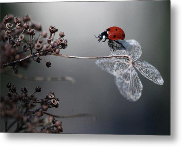 Ladybird On Hydrangea. Metal Print