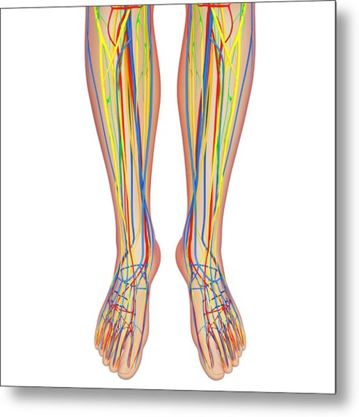 Lower Leg Anatomy Metal Print by Pixologicstudio/science Photo Library