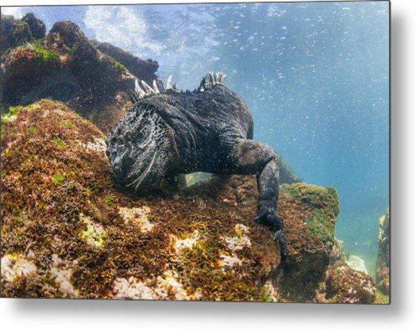 Marine Iguana Feeding On Algae Punta Metal Print