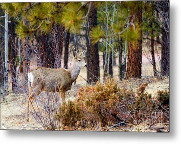 Mule Deer Metal Print