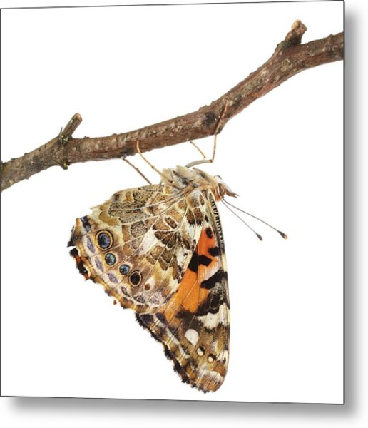 Painted Lady Butterfly Metal Print by Science Photo Library