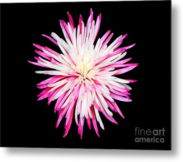 Pink Chrysanthemum Flower Isolated On Black Background. Macro  Metal Print