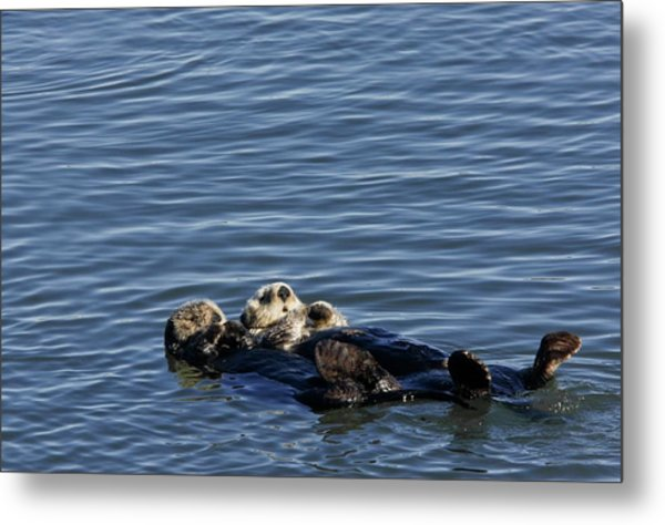 Sea Otters Metal Print by Bob Gibbons/science Photo Library