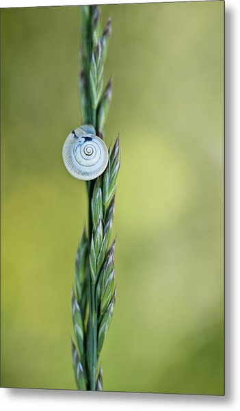 Snail On Grass Metal Print