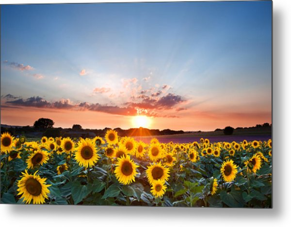 Sunflower Summer Sunset Landscape With Blue Skies Metal Print