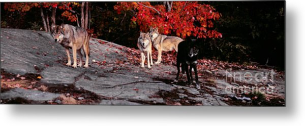 Timber Wolves Under A Red Maple Tree - Pano Metal Print