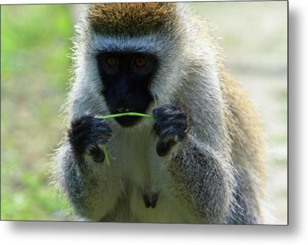 Vervet Monkey Metal Print