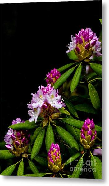 West Virginia State Flower Metal Print