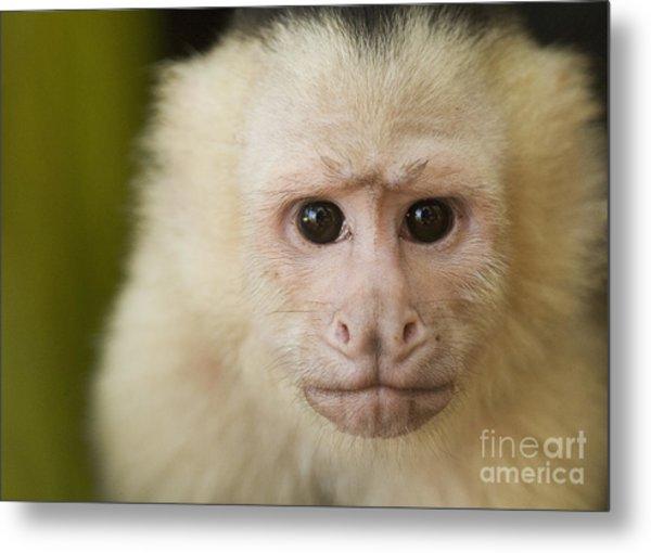 White-faced Capuchin Metal Print