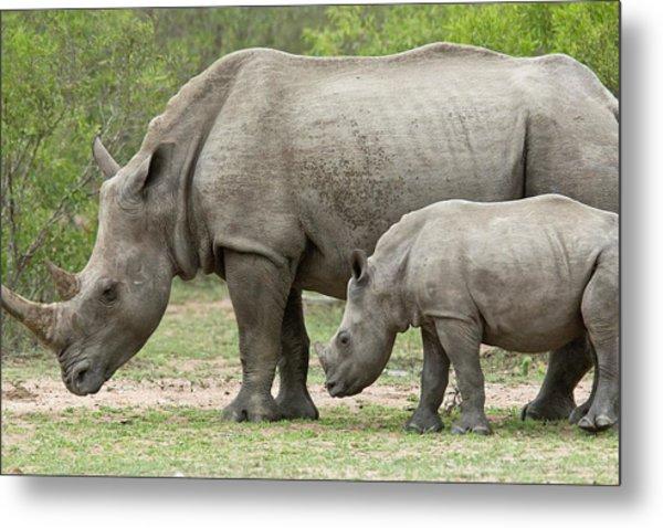 White Rhino And Calf Metal Print
