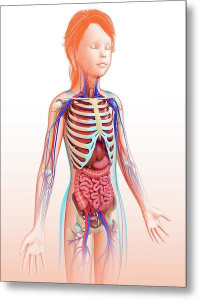 Human Internal Organs Metal Print by Pixologicstudio/science Photo Library