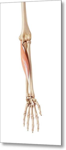 Muscles Of The Human Arm Metal Print by Sebastian Kaulitzki/science Photo Library