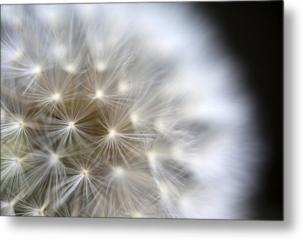 Dandelion Backlit Close Up Metal Print