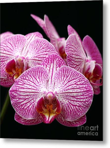 Moth Orchid Metal Print
