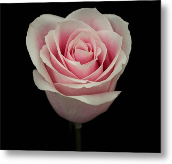 Pink Rose Metal Print by Carol Welsh