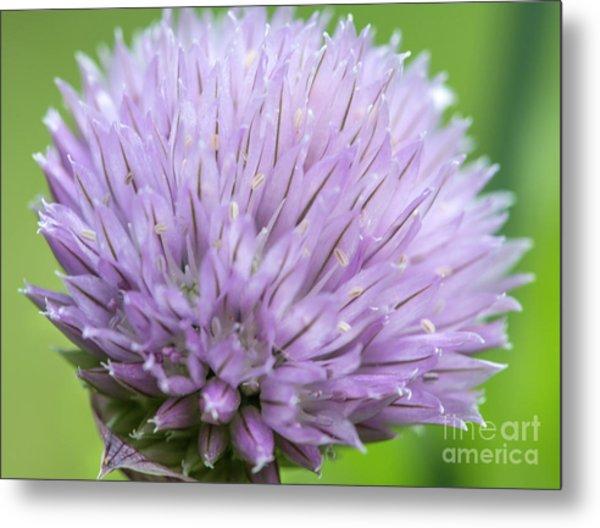 Purple Chive Flower Metal Print