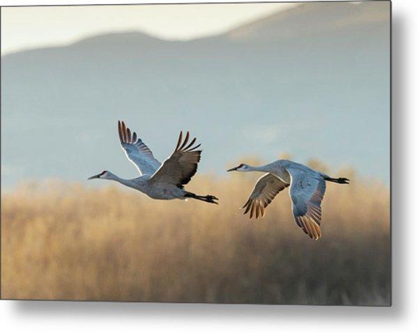 Sandhill Cranes Flying, Grus Metal Print
