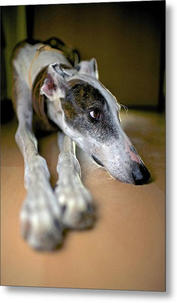 Spanish Greyhound Metal Print