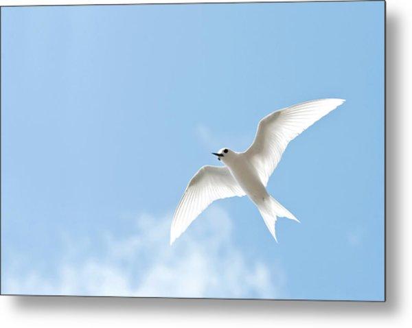 White Tern (gygis Alba Rothschildi Metal Print by Daisy Gilardini
