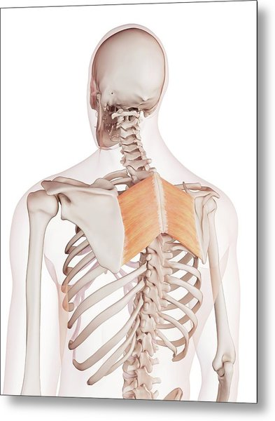 Human Back Muscles Metal Print by Sebastian Kaulitzki/science Photo Library