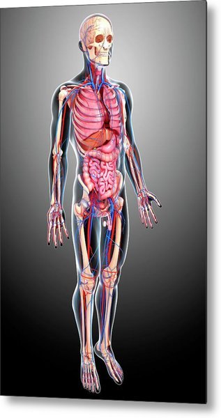 Male Anatomy Metal Print by Pixologicstudio/science Photo Library