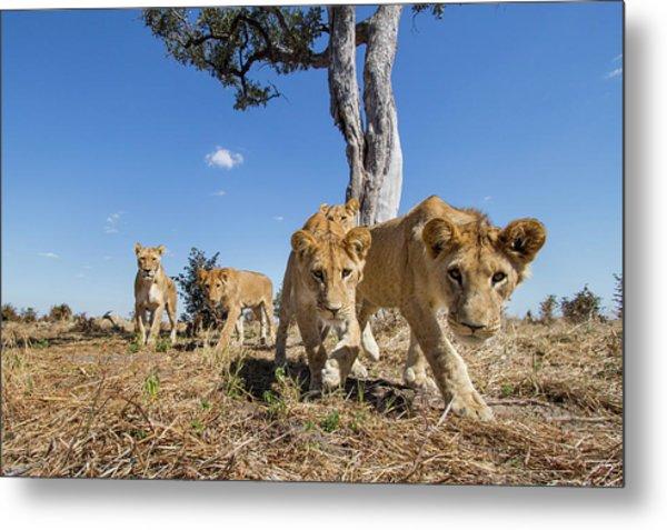 Africa, Botswana, Chobe National Park Metal Print