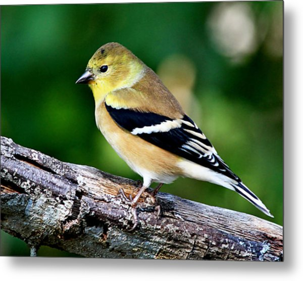 American Goldfinch Metal Print