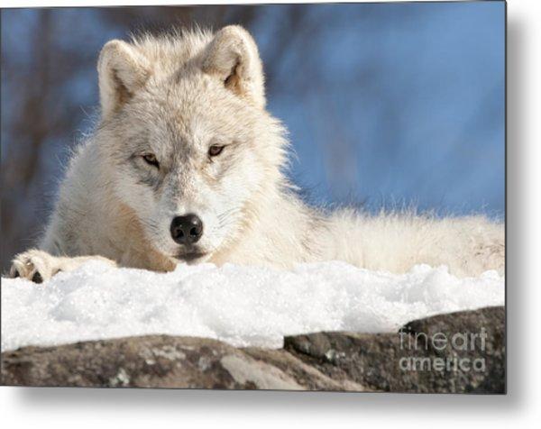 Arctic Wolf Pup Metal Print