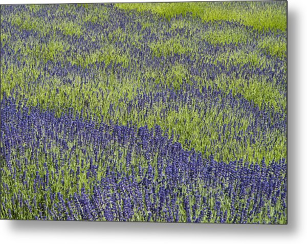 Lavendar Field Rows Of White And Purple Flowers Metal Print